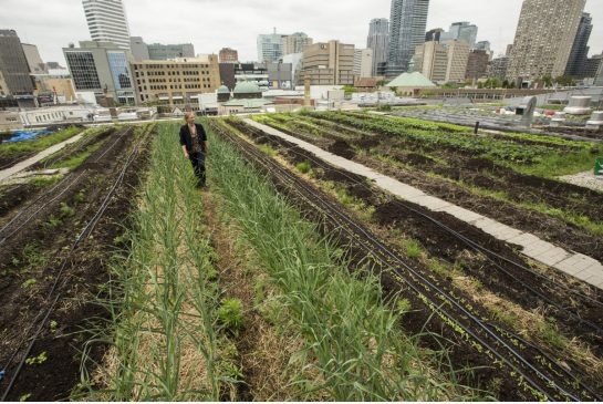 Ryerson rooftop farming
